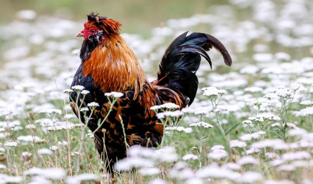 Pengertian Dalam Bermain Judi Sabung Ayam Online